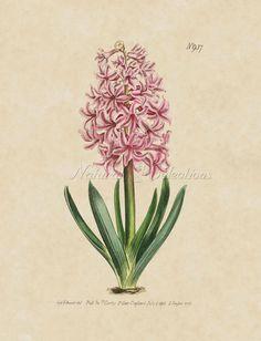 236x308 Botanical Hyacinth