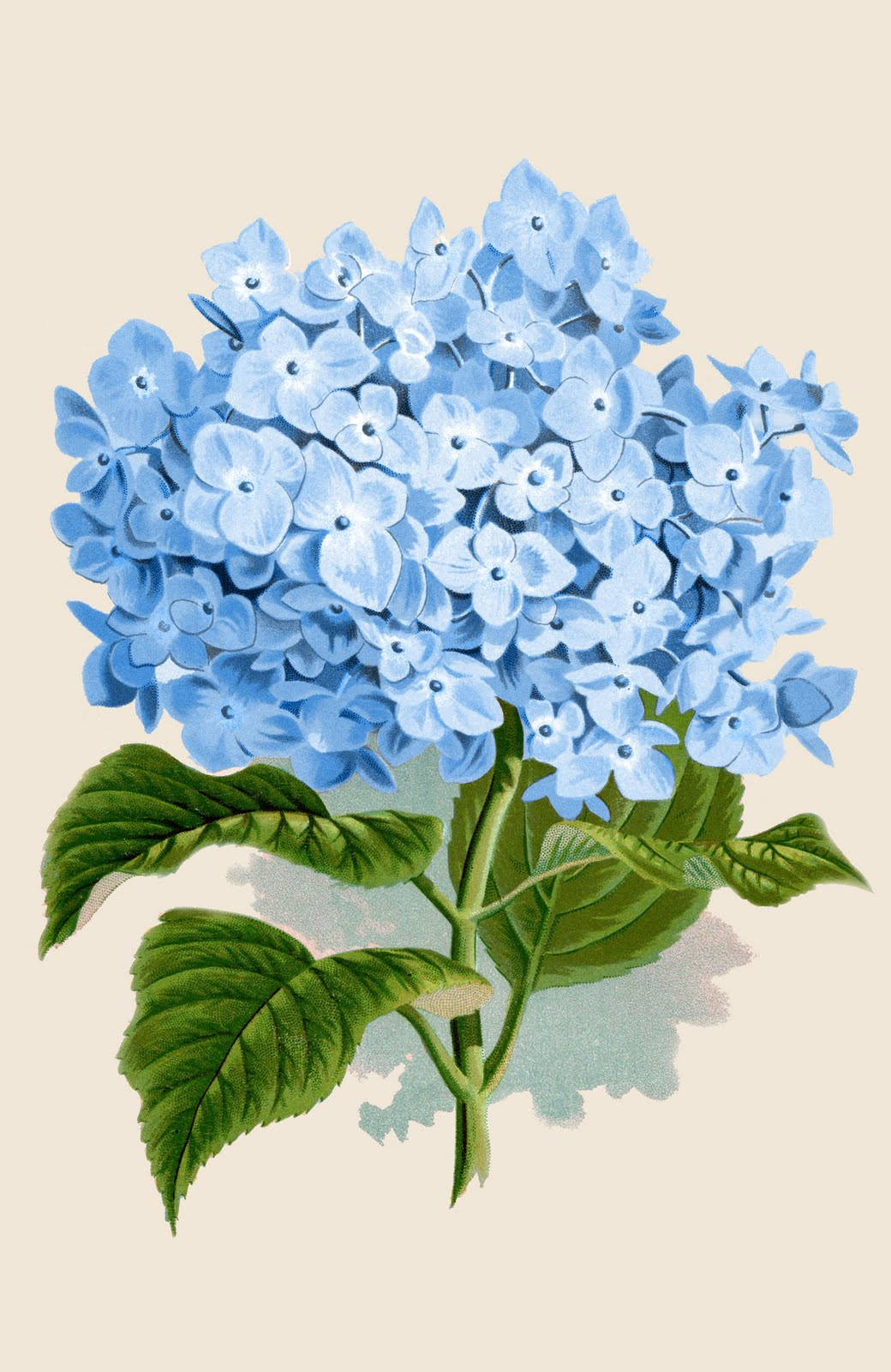 Hydrangea Drawing at GetDrawings.com | Free for personal use ...