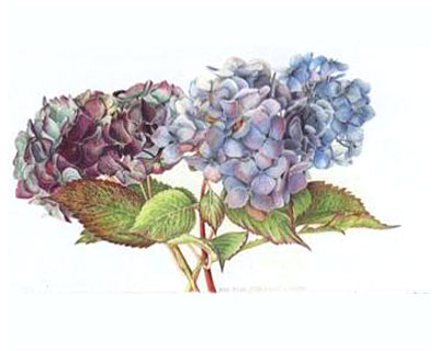 400x320 Botanical Drawing Of A Hydrangea. Botanical Art