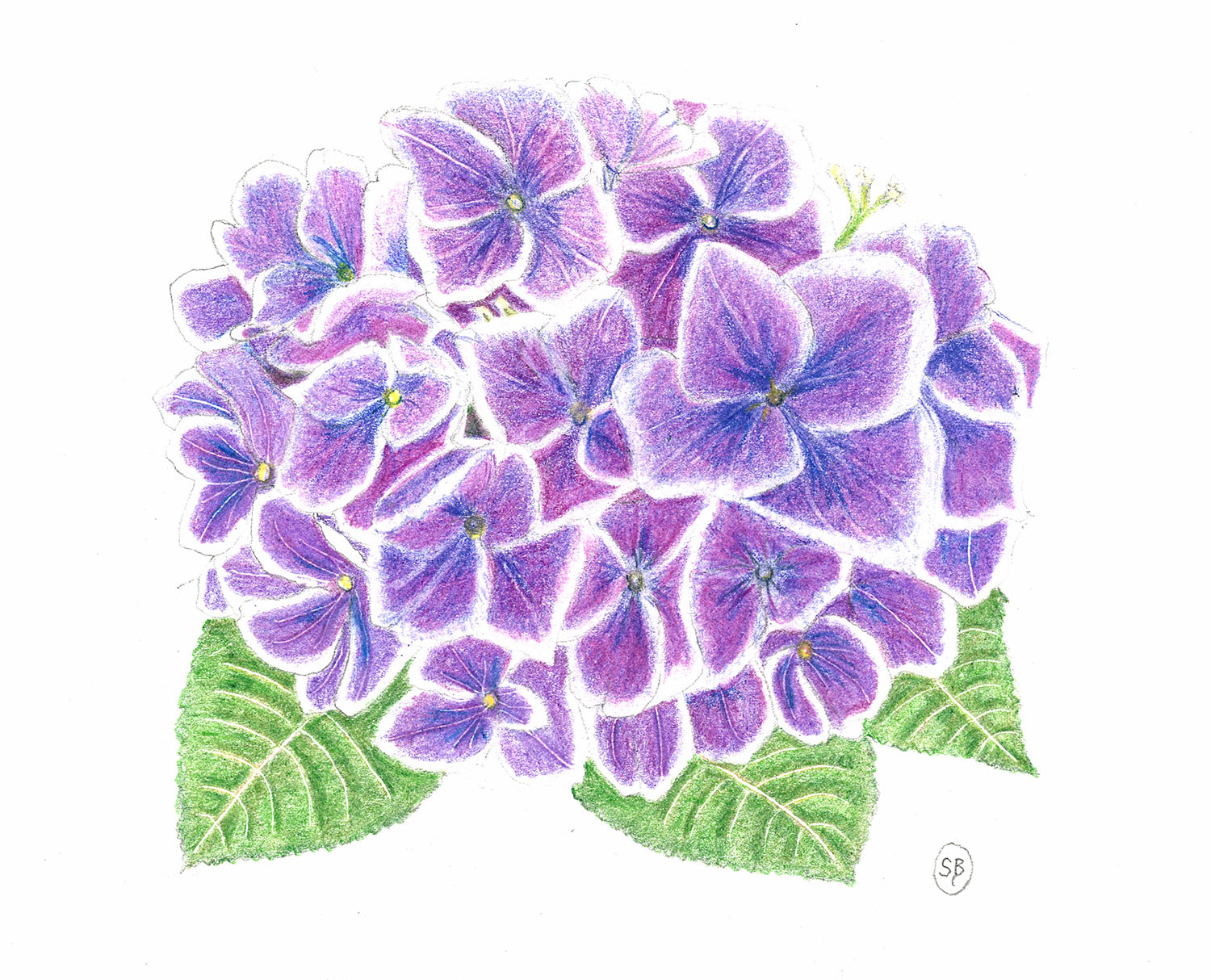 1500x1214 Hydrangea, Oil Pencil Drawing Available Sonja Bates