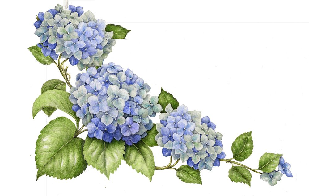 1000x635 Hydrangea. From The Collection Botanical Illustrations