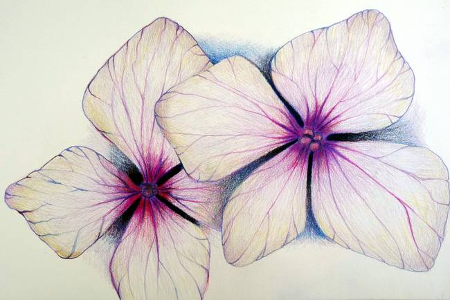 650x434 Stunning Hydrangea Drawings And Illustrations For Sale On Fine