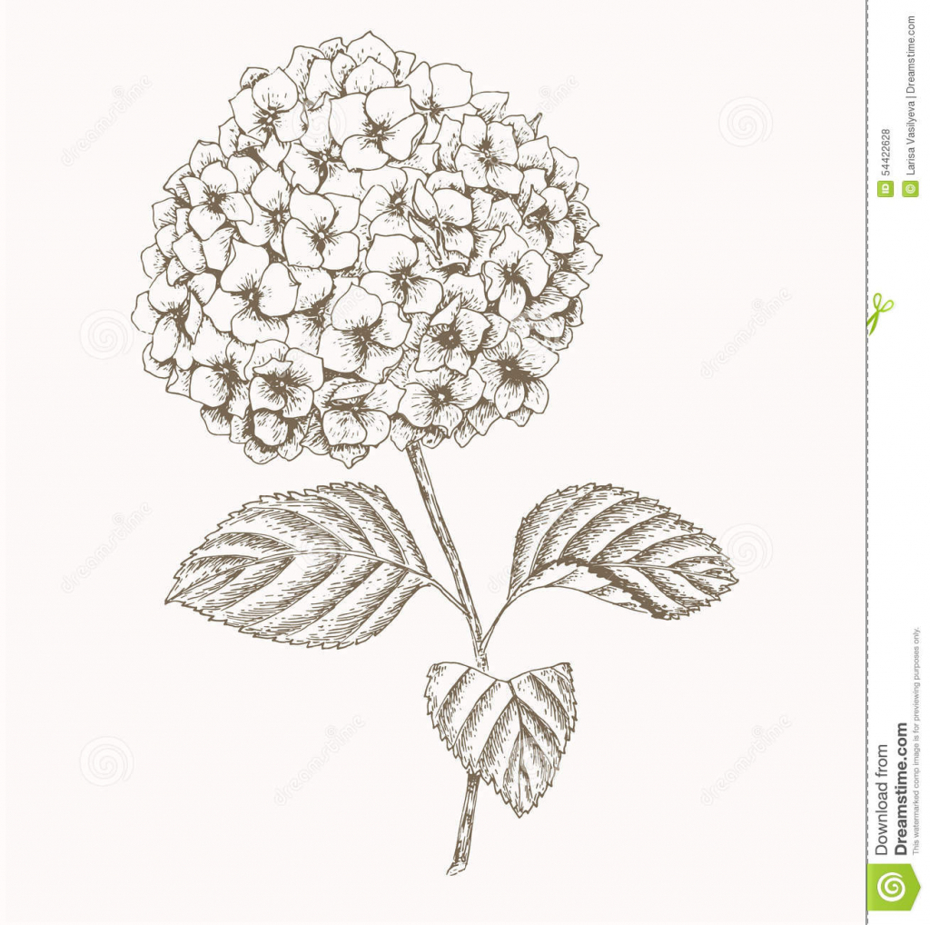 1024x1018 Drawing Hydrangea Flower Set Of Hydrangeas Isolated On White