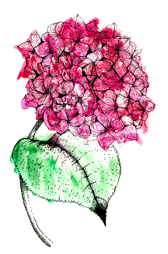 567x855 Drawing Of The Week Hydrangea Flower Ella's Place