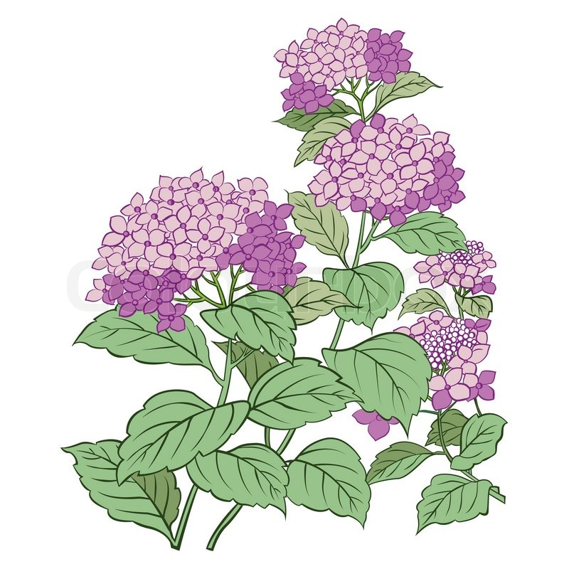 800x800 Hydrangea Flower And Leaf Isolated On White Stock Vector Colourbox