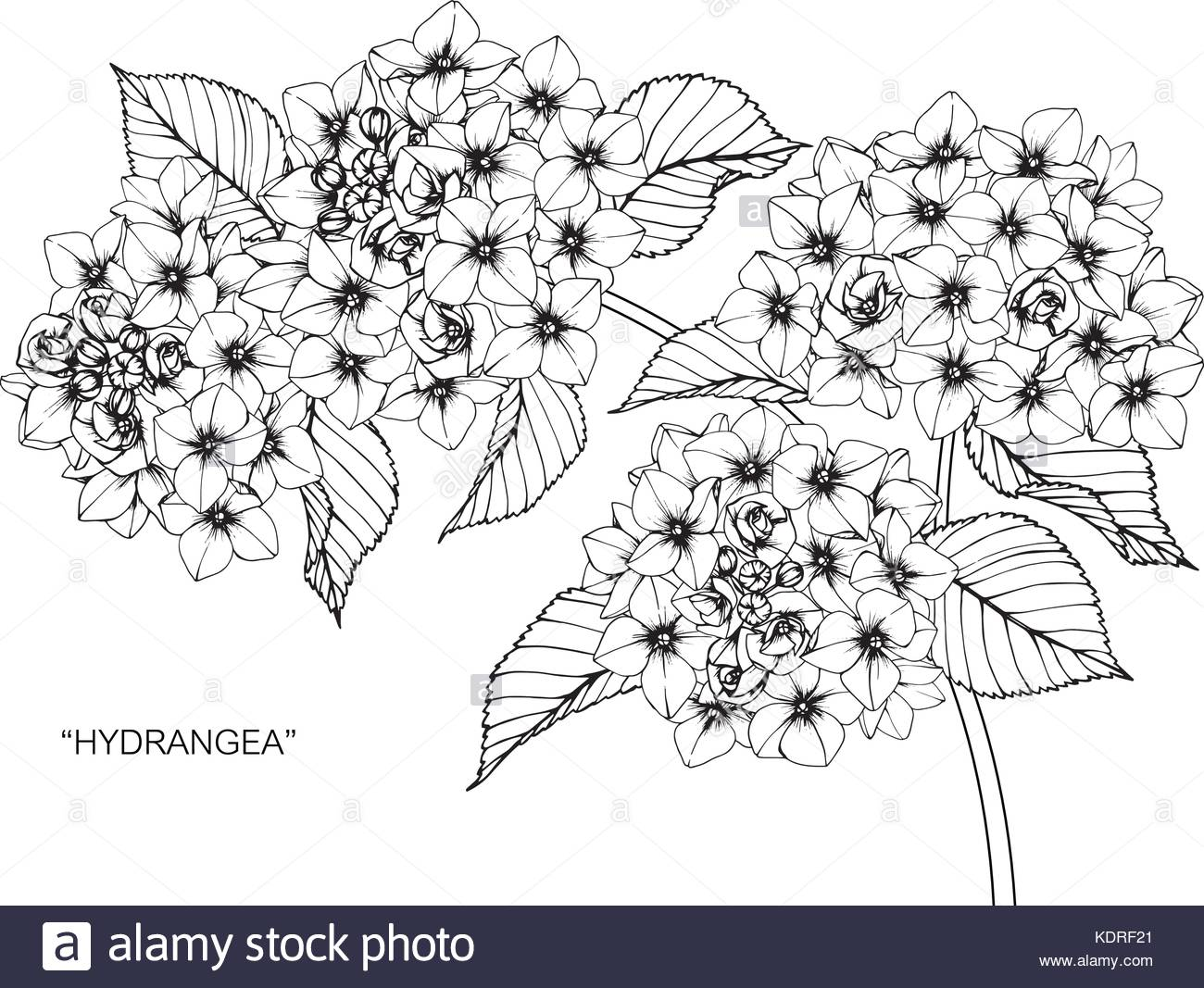1300x1067 Hydrangea Flower Drawing Illustration. Black And White With Line