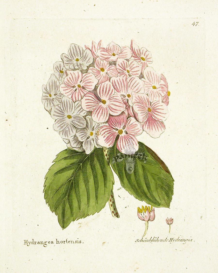 900x1126 Free Botanical Illustrations Ferdinand Vietz Botanical Prints