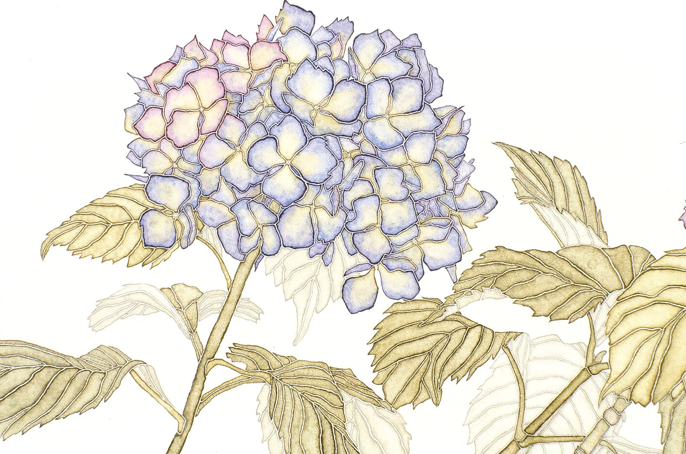 1409x932 Green Hydrangea Drawing And Painting Hydrangeas.