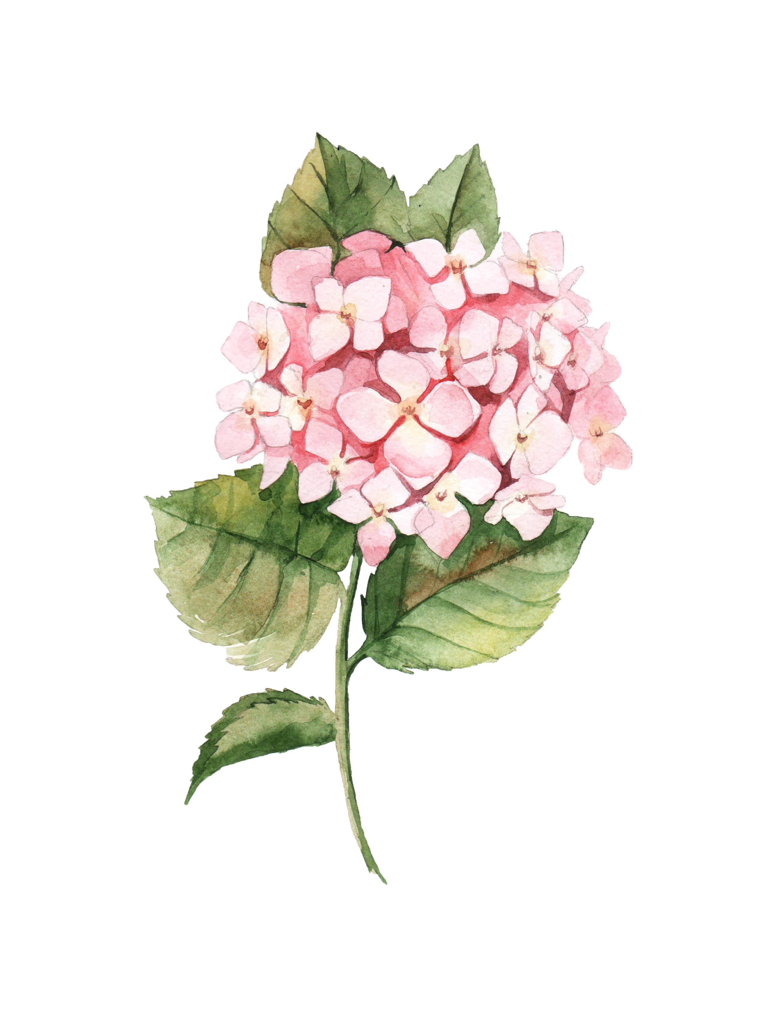2553x3429 Watercolor Botanical Drawing By Aleksandra Goga