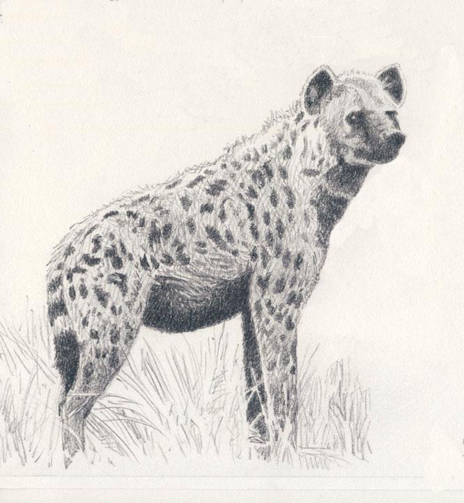 666x723 Spotted Hyena By Willemsvdmerwe
