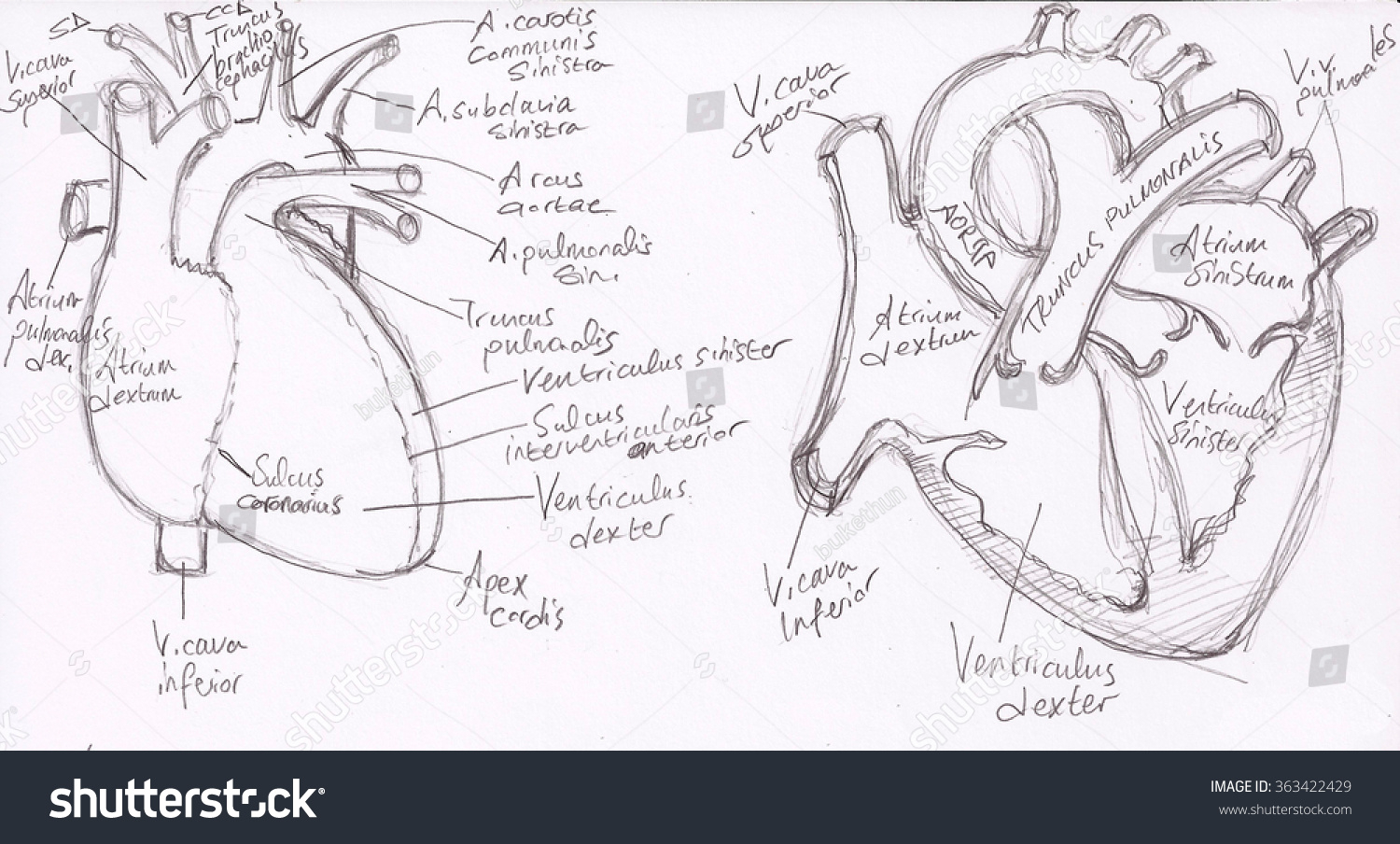 1500x904 Anatomical Drawing Of A Heart Anatomy Drawings Heart Medical