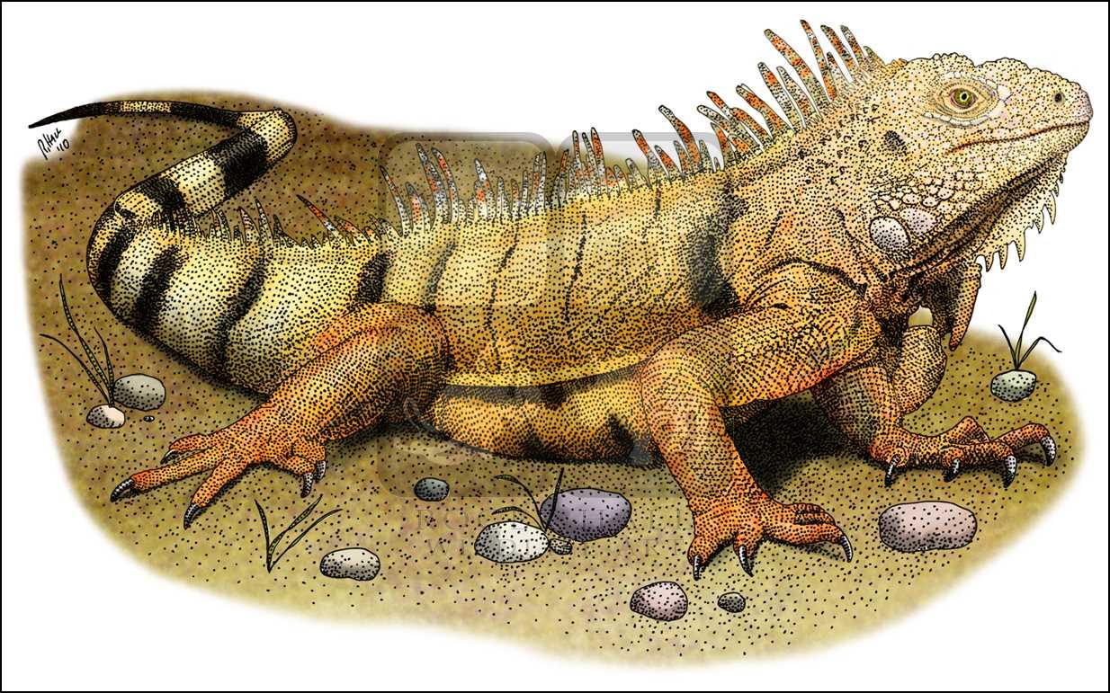 1234x771 Green Iguana (Iguana Iguana) Line Art And Full Color Illustrations