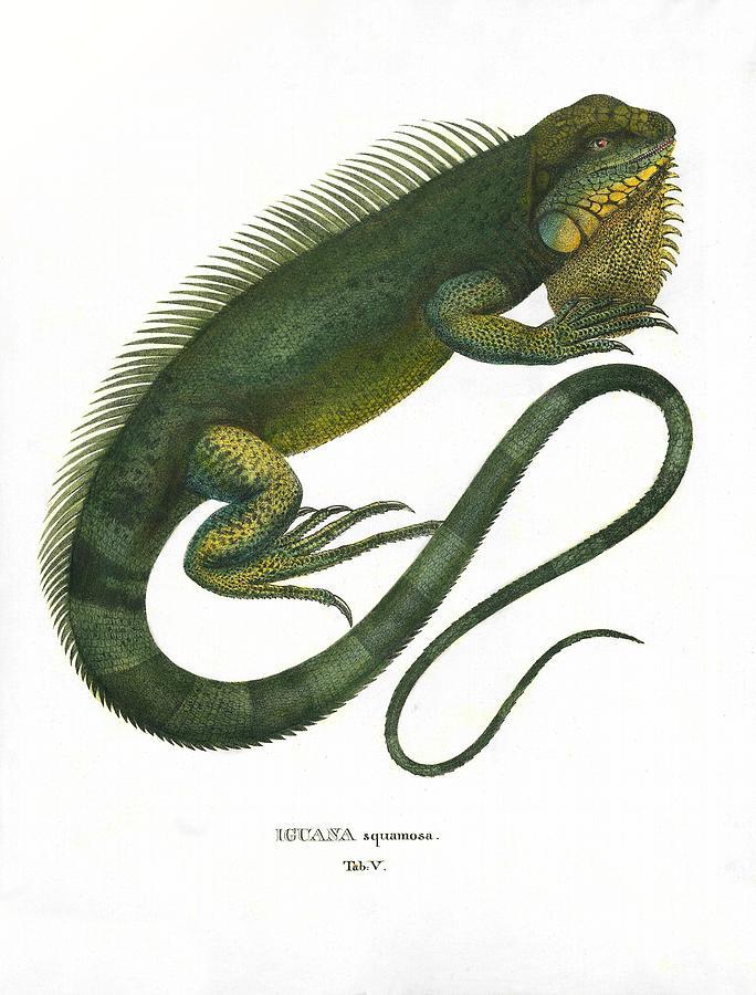 684x900 Green Iguana Drawing By Sergey Lukashin