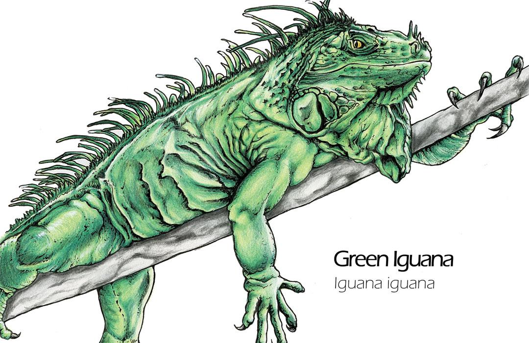 1080x700 Green Iguana Animal Drawing Art Mdubillustrations