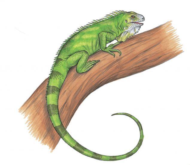 635x550 Draw Green Iguana Walter Foster Books Green Iguana