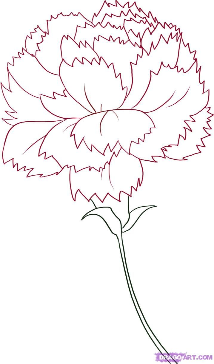 717x1221 Carnation Flower Drawing How To Draw A Carnation, Step By Step