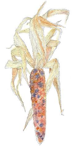 250x481 Indian Corn , Pen And Ink And Watercolor By Jocelyn Curry Art