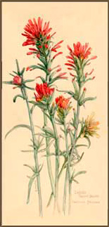 155x323 Indian Paint Brush Native American Indian