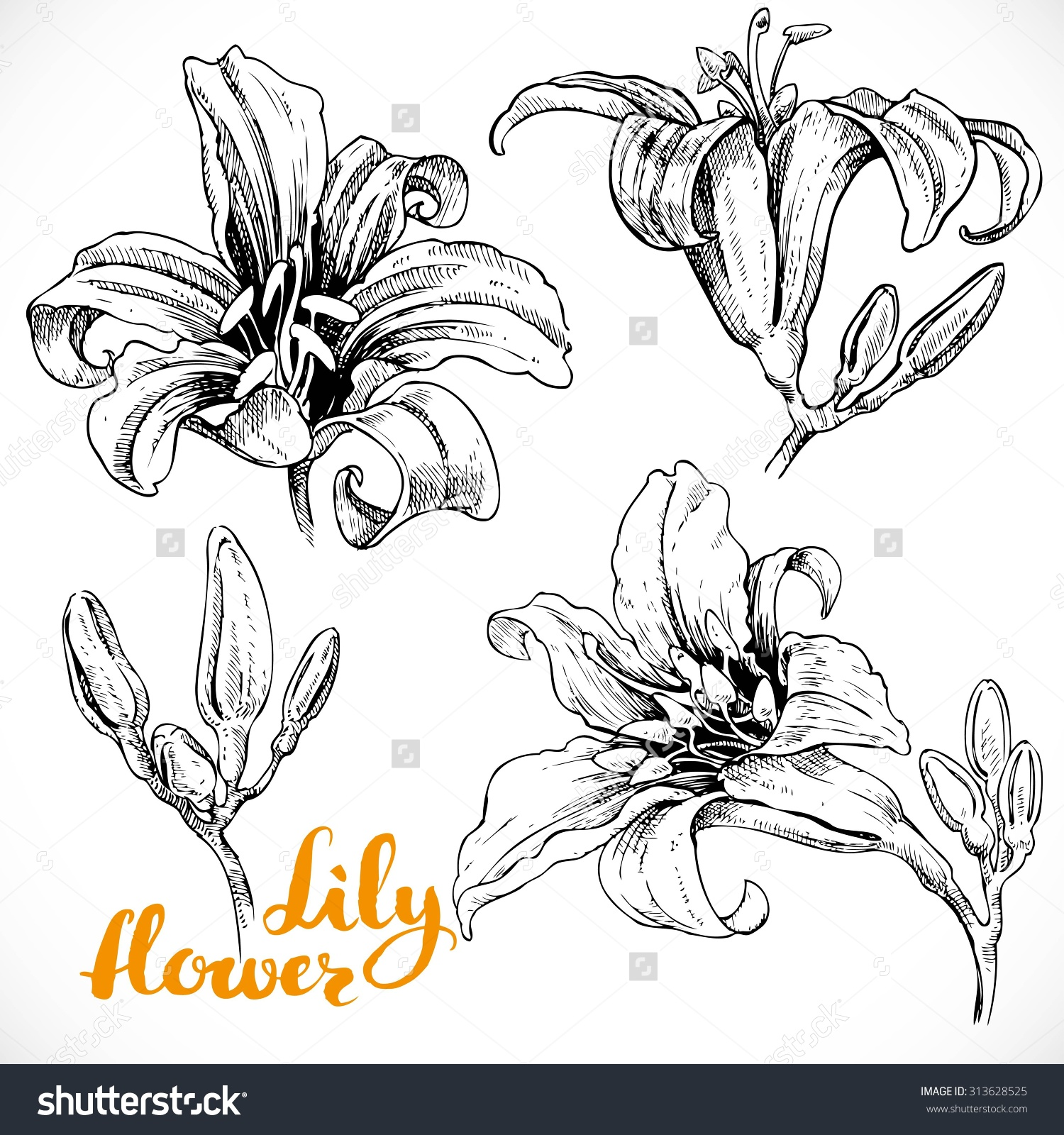 1500x1600 Stock Vector Lily Flowers And Buds Ink Drawing On White Paper Set