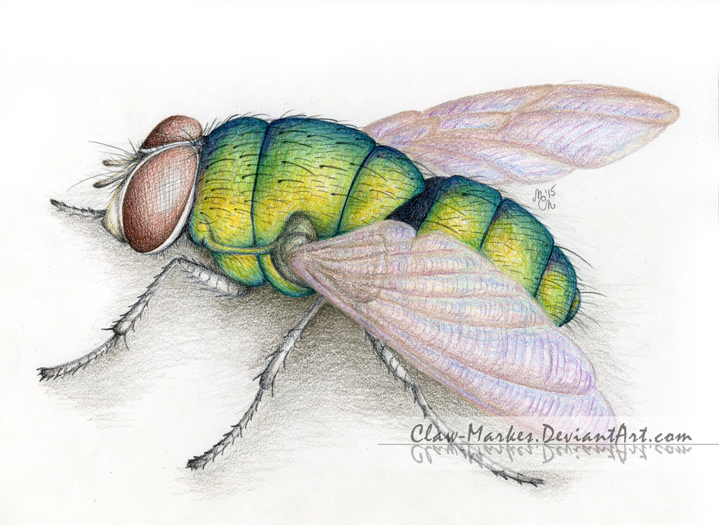 how to draw a realistic fly
