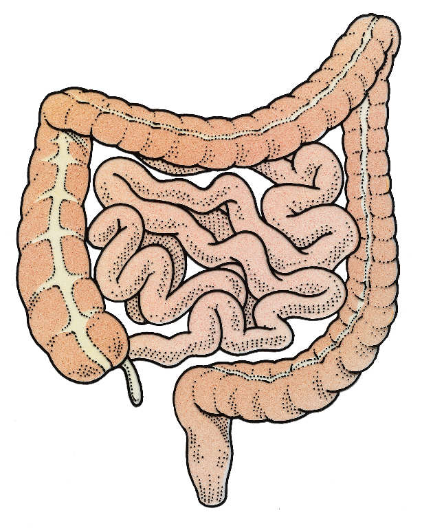 Intestines Drawing At Getdrawings Free For Personal Use
