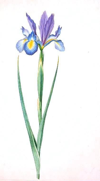 421x760 Botanical Flower Iris Iris Zyphium Vintage Printable