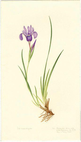 344x600 Image Result For Reed Botanical Plate Botanical Illustrations