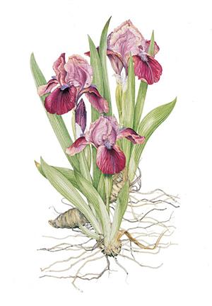 300x432 Iris Cherry Garden By Artist Sheila Mannes Abbott Httpwww
