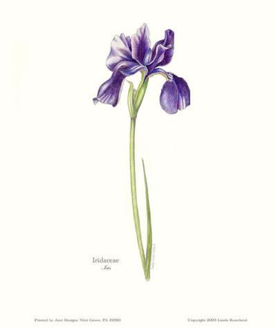 396x475 Purple Iris Linda Kneeland (Botanical Illustrator)