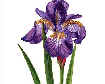 340x270 Siberian Iris Etsy