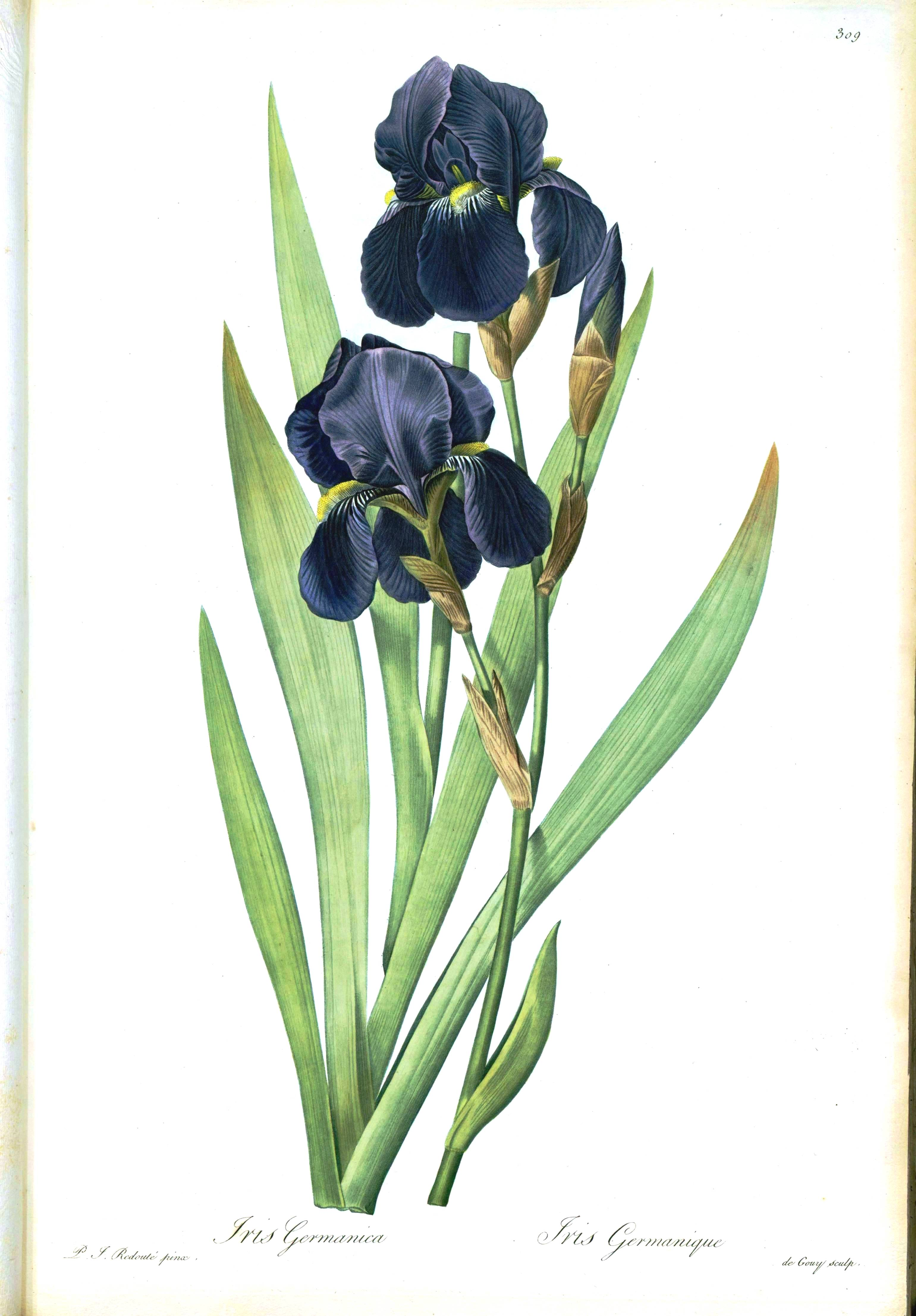 Iris Botanical Drawing At Getdrawings Free For Personal Use