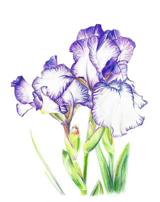 320x404 A Drawing Of An Iris Flower Using Coloured Pencils. It Was Fun