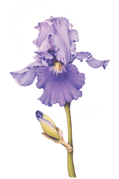 400x600 Bearded Iris Drawings Art Studies Bearded Iris