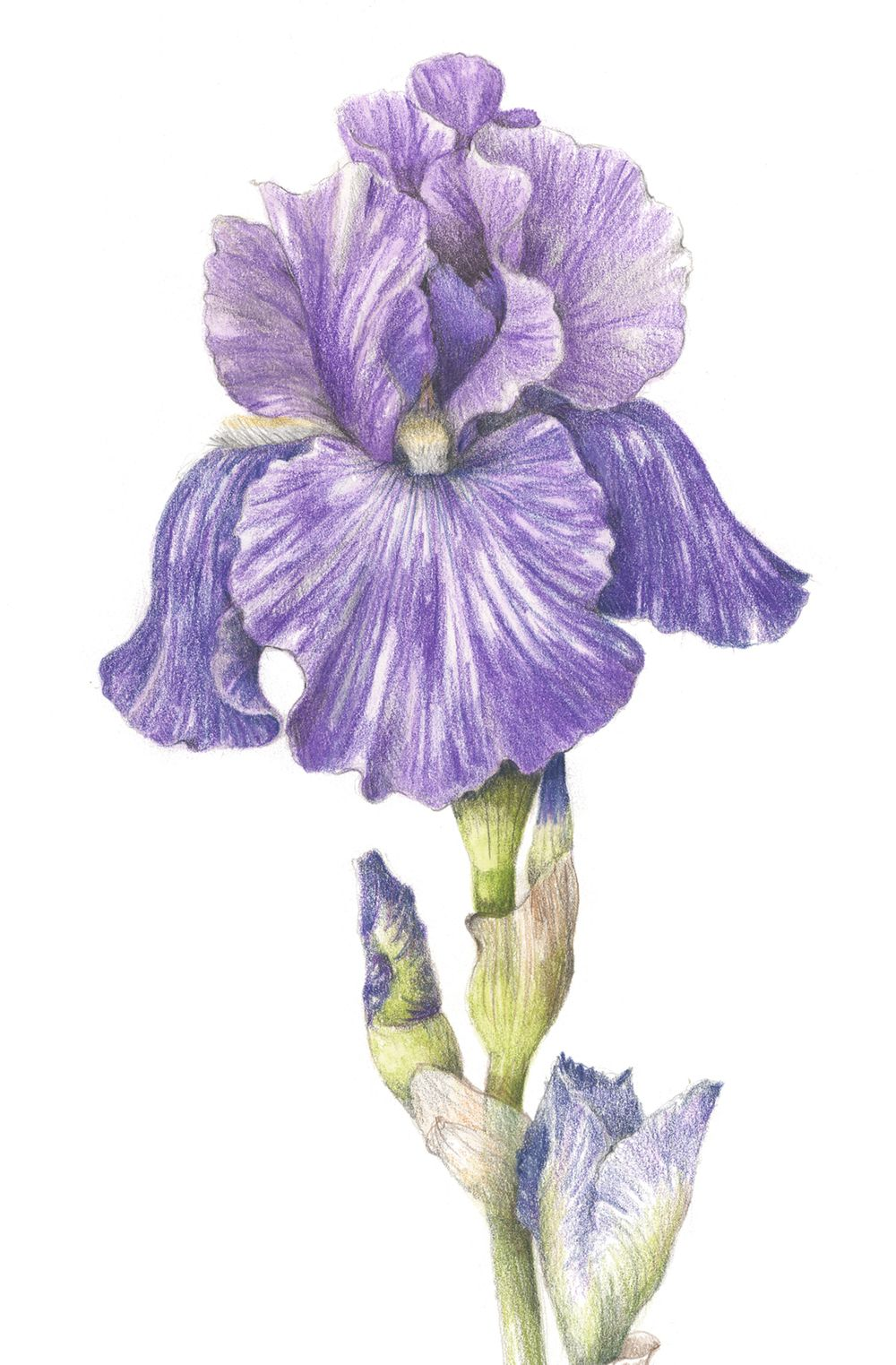 1000x1523 Bearded Iris. From The Collection Botanical Illustrations