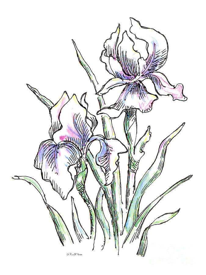 675x900 Iris Watercolor Drawing 2 Painting By Gordon Punt