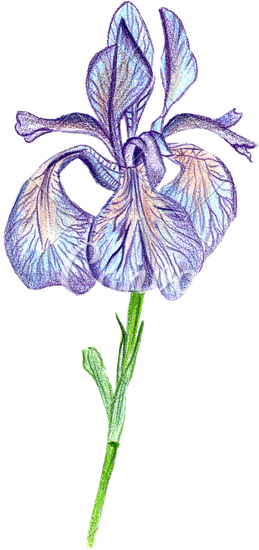 259x550 Hand Drawing Of The Iris Flower