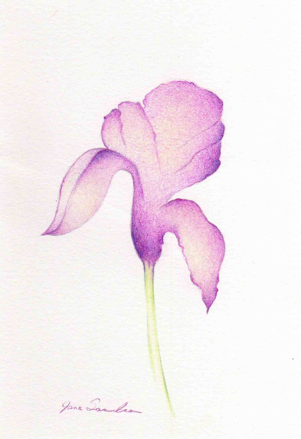 1029x1500 Spring Iris Too Simple Drawing Purple Iris Flower By Artofjane