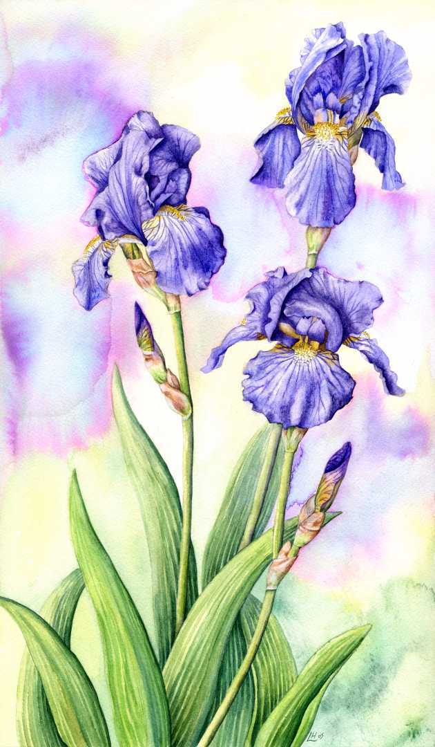 630x1080 How To Draw Iris Bearded Irises Iris Germanica How To Draw