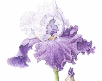 340x270 Iris Drawing Etsy