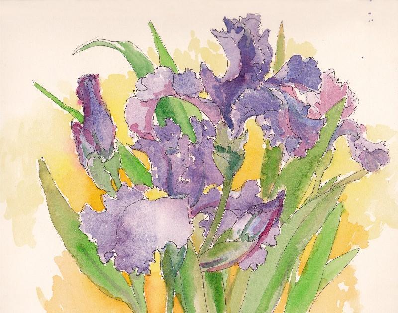 800x630 Tracie Thompson, Artist Irises Drawing, Highland Park Irises