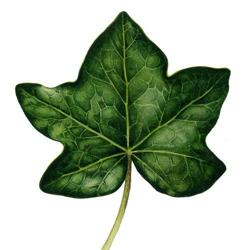 487x500 Botanical Illustration Of Ivy Leaf By Lizzie Harper Botanical