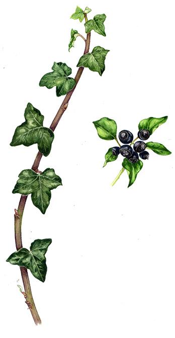 348x671 Lizzie Harper Natural History Illustrator Botanical Illustration