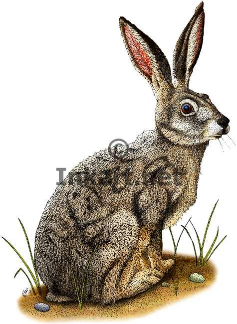475x650 Black Tailed Jackrabbit (Lepus Californicus) Stock Art Illustration