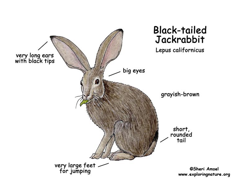 Jack Rabbit Drawing At Getdrawings Free For Personal Use Jack