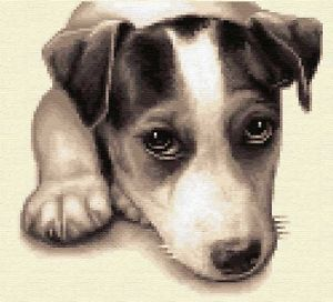 300x272 Jack Russell Terrier, Dog