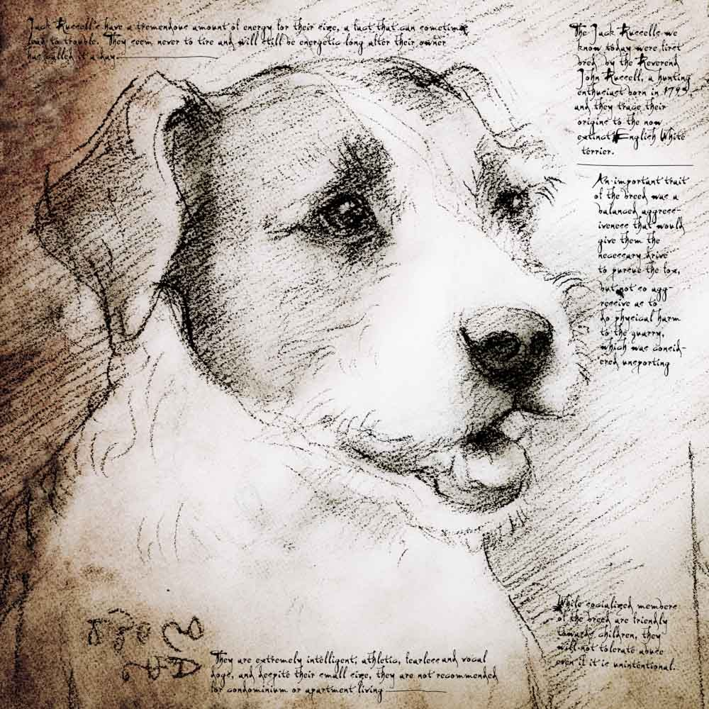 1000x1000 Jack Russell Face Detail Of A Da Vinci Style Drawing