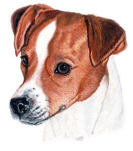 264x300 Jack Russell Terrier Drawings Fine Art America