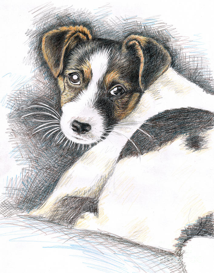 706x900 Jack Russell Puppy Drawing By Nicole Zeug