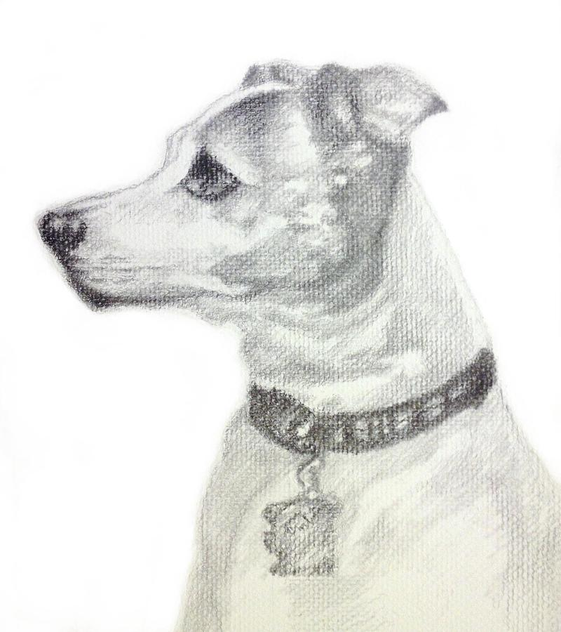 800x900 Jack Russell Terrier Drawing By Sun Sohovich