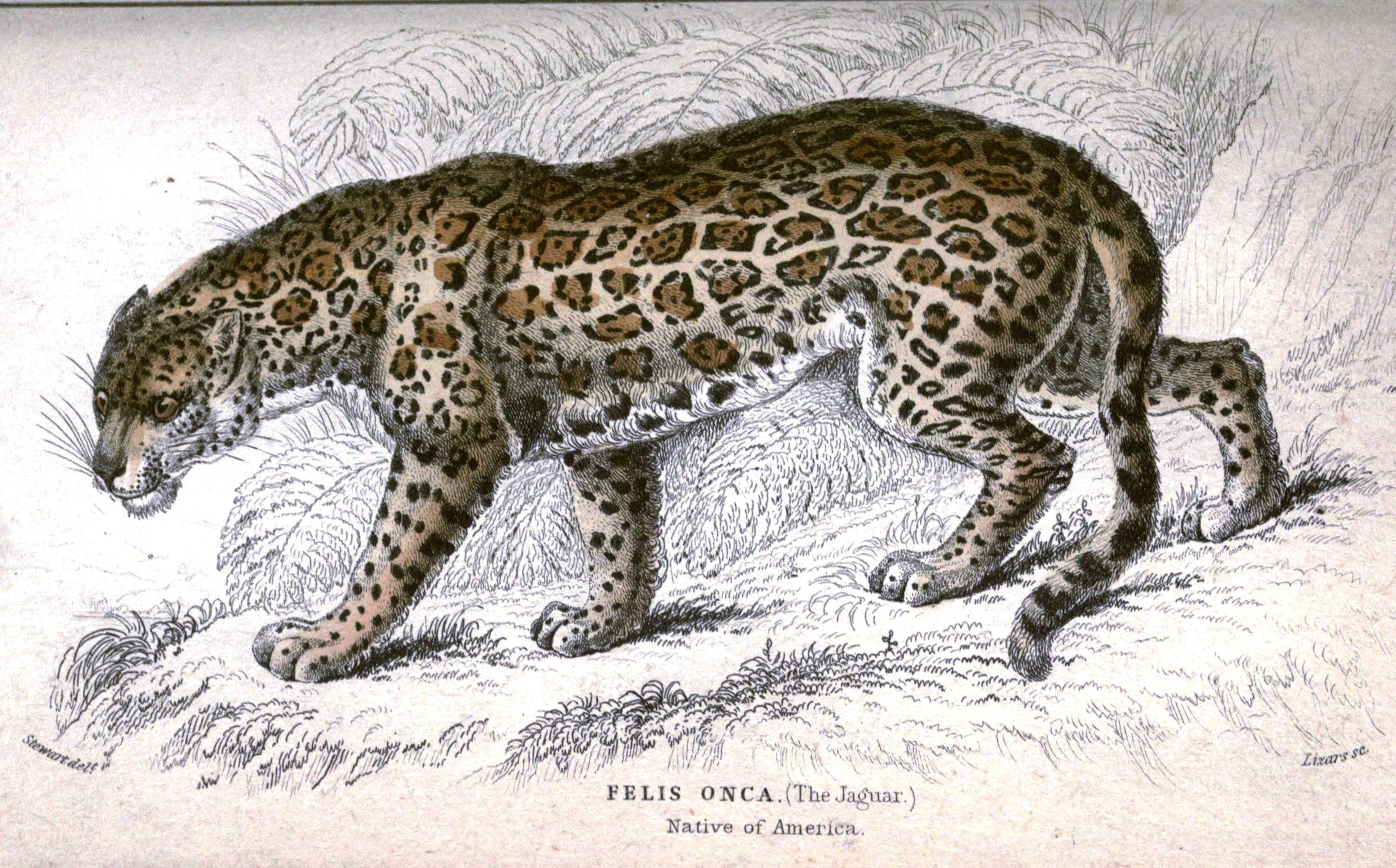 3470x2158 Animal Jardine Jaguar Vintage Printable
